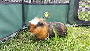 Male Guinea Pig Free Windsor Hawkesbury Area Preview