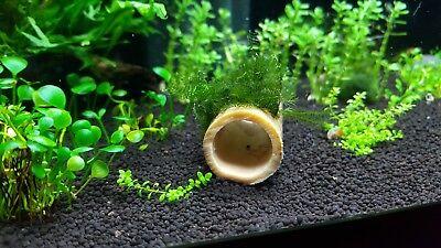 Fissidens fontanus on bamboo tube live freshwater aquarium decoration