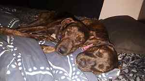 2 dogs looking for new home Kedron Brisbane North East Preview