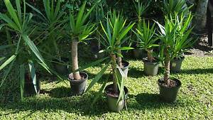 Yucca Plants Innisfail Cassowary Coast Preview