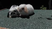Sweet Cute Ready 4 Christmas Pure Breed Mini Lop Rabbits 4 Sale Harris Park Parramatta Area Preview