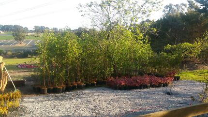 Plants 50 % off Silver birch and maples up to 3m all $12.50 Seville East Yarra Ranges Preview