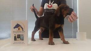 Doberman Cross Female Puppy Baldivis Rockingham Area Preview