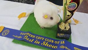 Purebred baby guinea pigs, very placid. Reg breeder Magill Campbelltown Area Preview