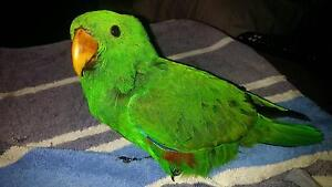 Eclectus Parrot Male - very tame and friendly Werrington County Penrith Area Preview
