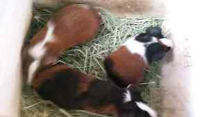 Baby Guinea Pigs For Sale Parmelia Kwinana Area Preview