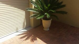 CYCAD PALMS IN POTS North Tamworth Tamworth City Preview