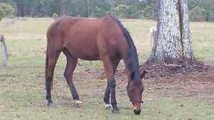 selling my thoroghbred gelding.16hh.+ All his Gear. Kind Nature H Morayfield Caboolture Area Preview