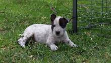 Bull Terrier (Pure Bred) X Red Cattle Pups Capertee Lithgow Area Preview