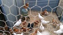 We have 9 week old laying chicken Kudla Gawler Area Preview