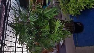 rhapis palm's....super advanced. Elanora Heights Pittwater Area Preview