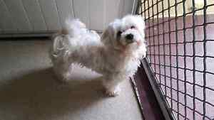 Maltese x male x 2 Keperra Brisbane North West Preview