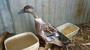 Khaki Campbell Mallard Cross Duckling Drake Duck