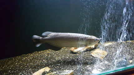 50cm saratoga jardini. Eat pellets and anything. Community fish