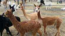 young little female alpacas free delivery Lowood Somerset Area Preview