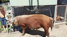 Piglets for sale Cardwell Cassowary Coast Preview