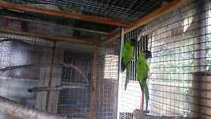Breeding pair of nanday conure for sale Adelaide CBD Adelaide City Preview