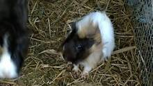 Abyssinian guinea pig Canley Vale Fairfield Area Preview