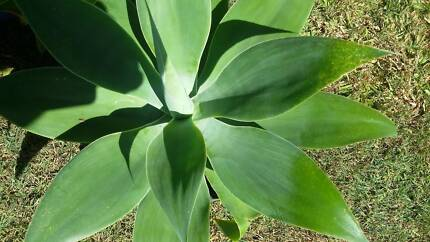 Agave, Sml,Med,L,XL. $5 TO $25 POTTED P/U  BUDERIM COD