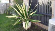Mature agave with pot Mango Hill Pine Rivers Area Preview