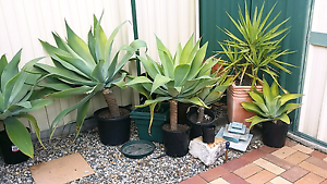 Assorted sized potted agaves Crestmead Logan Area Preview