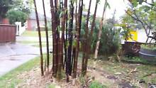 Clumping bamboo from 25 dollars Bankstown Bankstown Area Preview