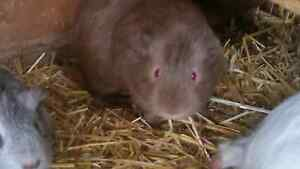 Guinea pigs Para Hills Salisbury Area Preview