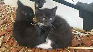 8 week old kittens..... Tatura Outer Shepparton Preview