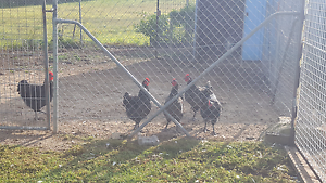 Purebred Black and Blue Australorp Roosters ONLY Appin Wollondilly Area Preview