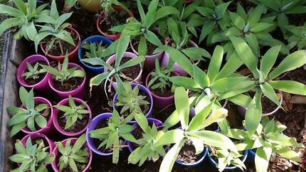 Agave Attenuata PLANTS  30 FOR $30