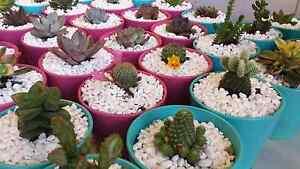succulents and cactus trees wedding gifts birthday gifts plants Cabramatta Fairfield Area Preview