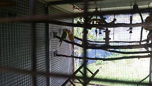 Breeding pair conures Caboolture Caboolture Area Preview