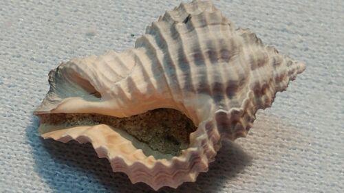 Nice,small FOSSIL whelk SHELL from FLORIDA -Hanetia mengeana