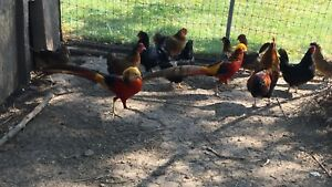 Pheasants and Chickens for sale