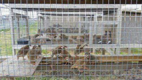30+ Chukar Partridge Hatching Eggs, Grey , Red , and carry Silver Genetics .