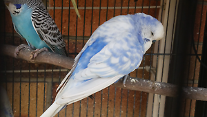 Beautiful pied budgie Coomera Gold Coast North Preview