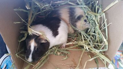 2 girls guinea pigs for sale with 2 cages, toys and more accesori Mosman Mosman Area Preview