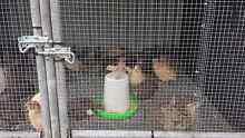 Jap quails Ingham Hinchinbrook Area Preview