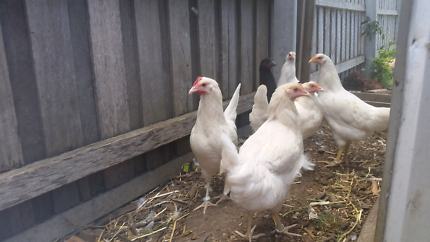 Leghorn pullets Orbost East Gippsland Preview
