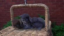 Blue Pure Breed Baby Mini Lop Rabbits For Sale 0 Harris Park Parramatta Area Preview