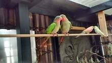 Princess Parrot bonded pair for sale Nyora South Gippsland Preview