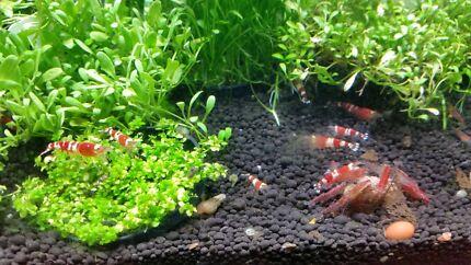 Crystal red shrimp Surry Hills Inner Sydney Preview