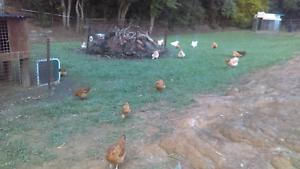 Chicken sale Eudlo Maroochydore Area Preview