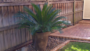 Cycad in Pot Beaumont Hills The Hills District Preview