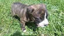 Staffy Pups Burnie Burnie Area Preview