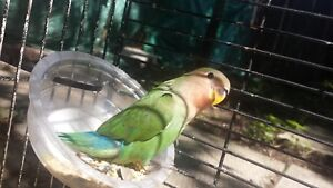 2 month old lovable love bird