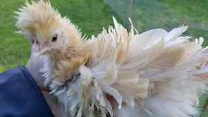 Chickens for Sale (Pullet Girls) Skye Frankston Area Preview