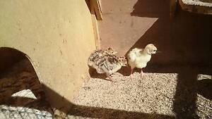 turkey chicks Owanyilla Fraser Coast Preview