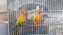 Breeding pair of sun conyers 4 year old $600 Caboolture South Caboolture Area Preview