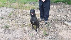 Male Dutch Shepherd for sale - Pet only Londonderry Penrith Area Preview